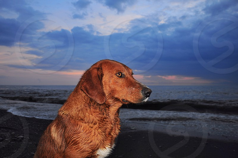 brown short haired large dog photo