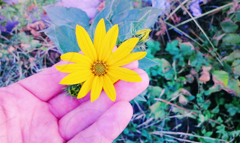 person touching yellow flower photo