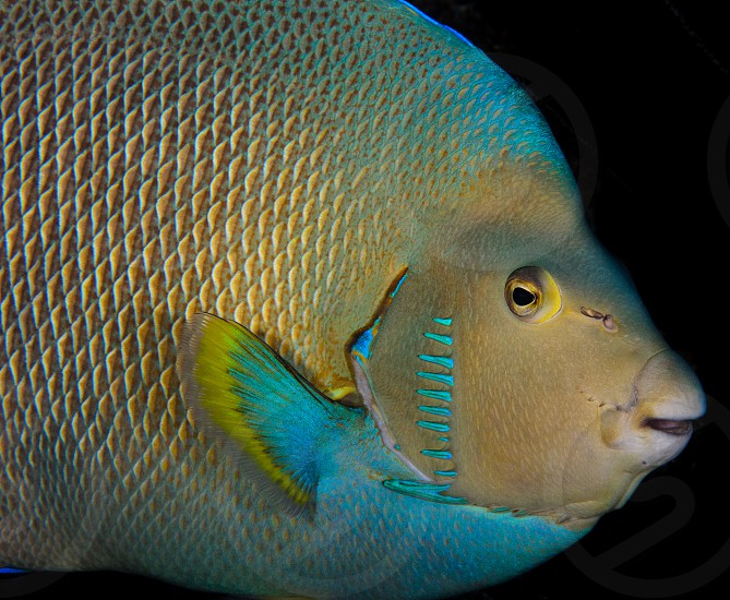 A portrait of an angelfish. photo