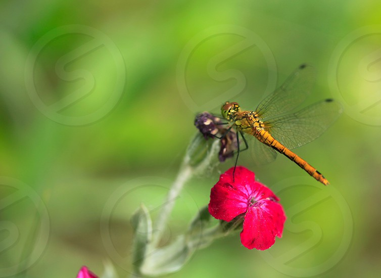 dragonfly on flower photo