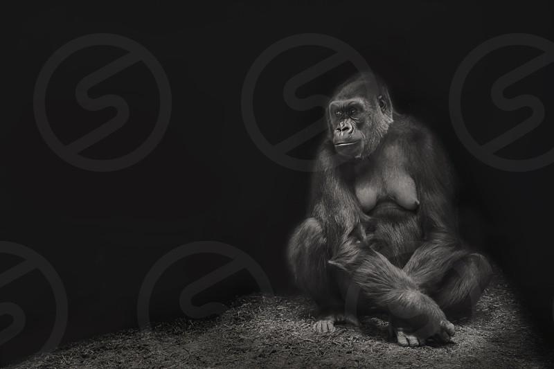 Portrait of a female gorilla. photo
