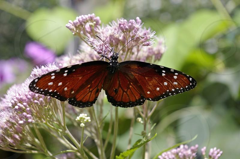 butterfly flower purple photo