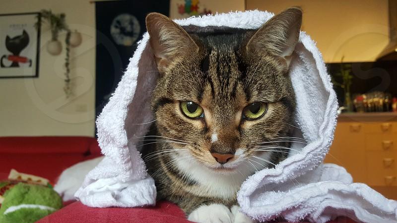 cat under towel photo