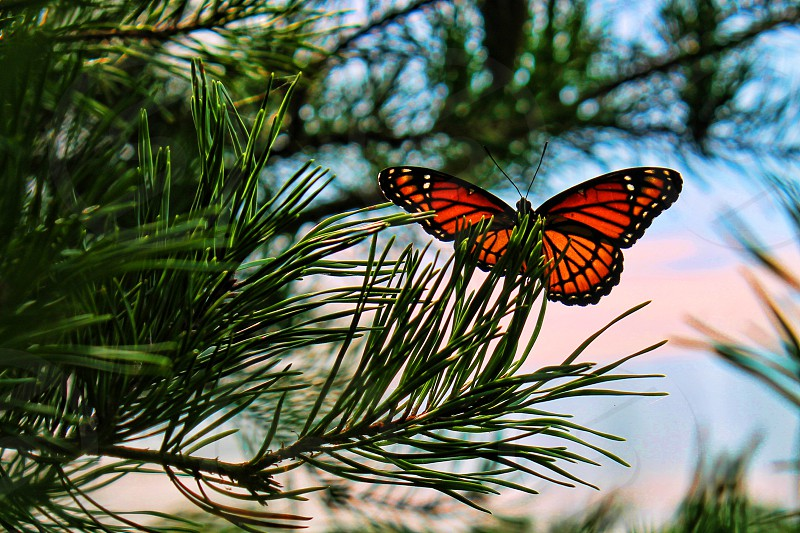 Monarch butterfly in a pine tree- Mountain View Arkansas photo