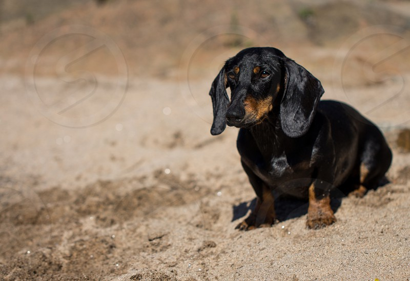 black dachshund stand on sand photo
