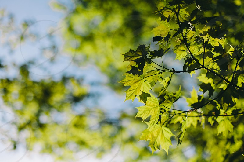 Maple leaves tree branches green bokeh maple leaf summer Canada  photo