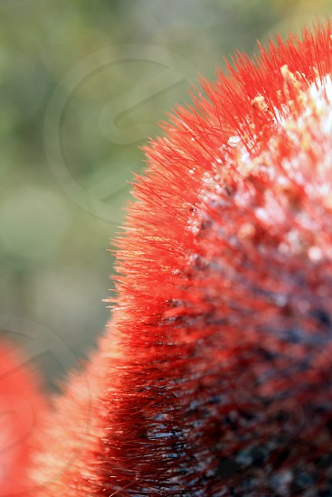 Turk's Head (or Barrel) Cactus photo
