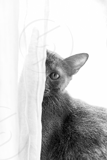 Cat hiding behind curtain in window  photo