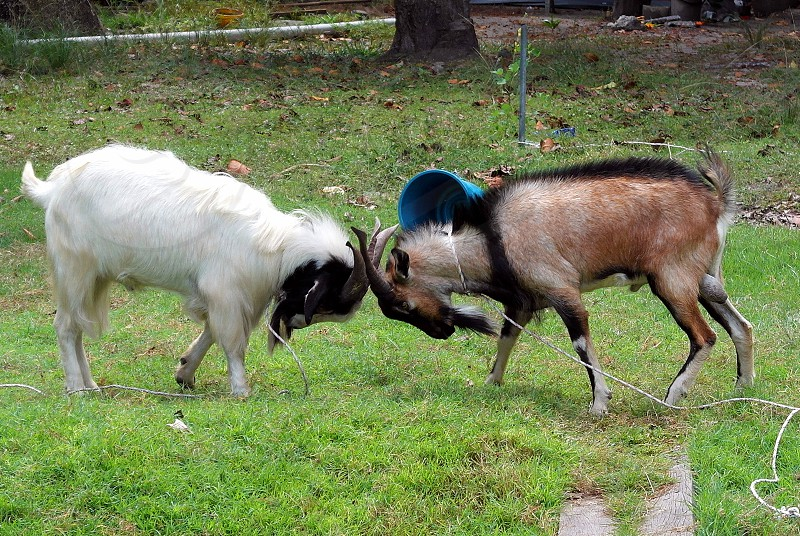 white and black ram and brown and black ram butting heads standing on green grass photo