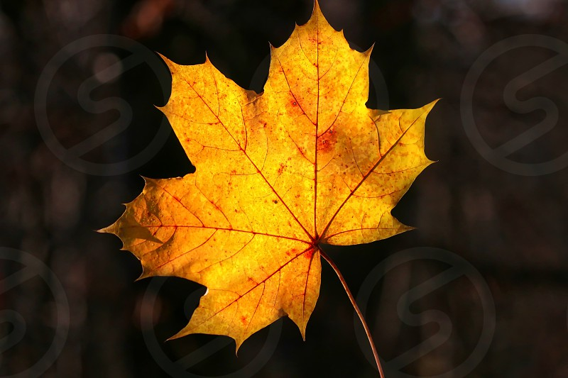 Autumn leaf which is back lit photo