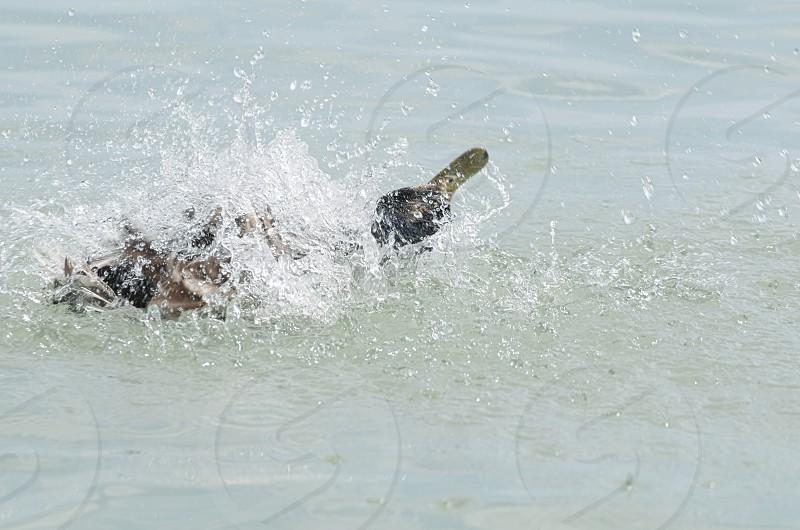 Female Mallard Duck Splashing Water Closeup on a Summer Day photo