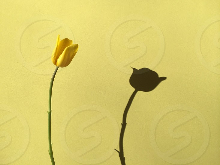 yellow flower with its shadow photo