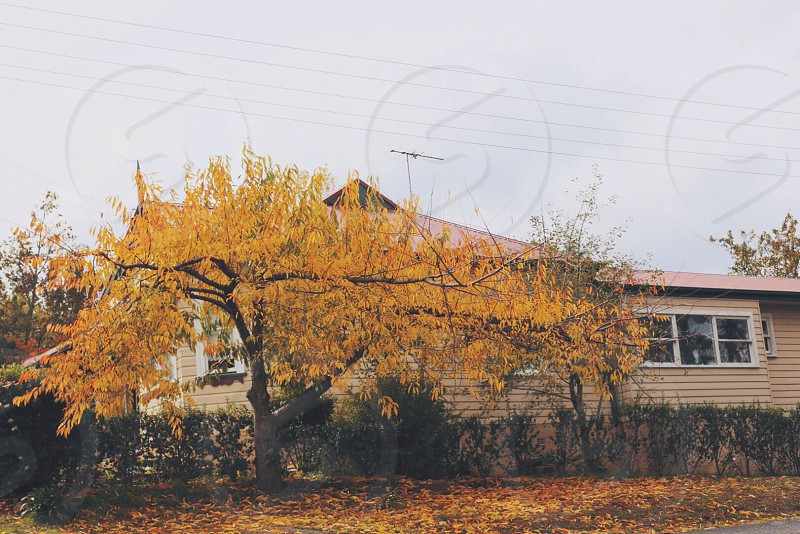 yellow tree beside the house photo