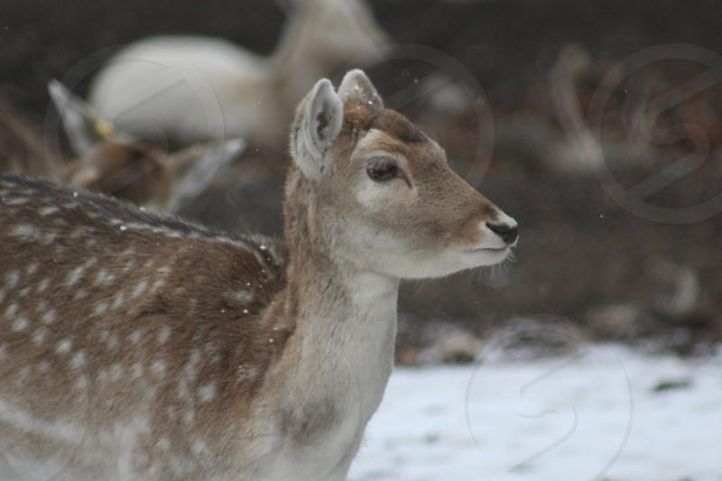 Deer animals outdoors doe fallow outside outdoors creature spot brown farm head photo