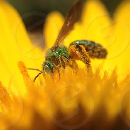 green sweat bee on yellow flower photo