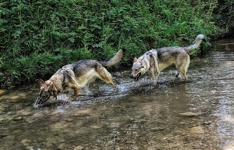 two gray wolves on river photo