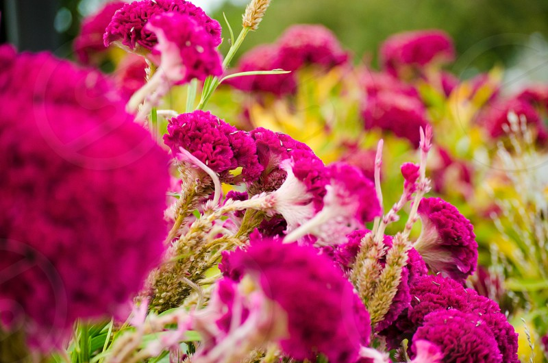 Bright and bold pink flowers in landscape garden.  Soft texture on colorful plants. photo