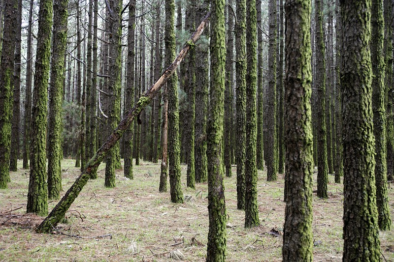 a Forest in the centre of the Island of Tenerife on the Islands of Canary Islands of Spain in the Atlantic.   photo
