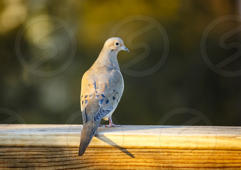 Dove at sunset photo