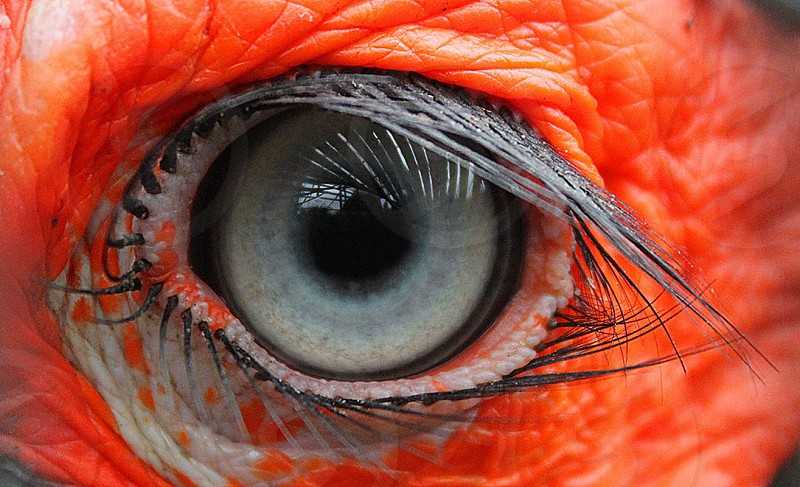 The eye of a south African Hornbill photo