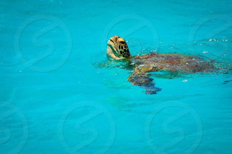 brown turtle swimming photo
