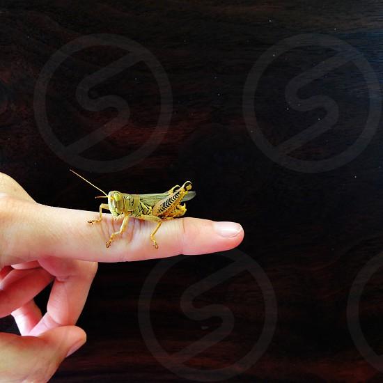 grasshopper on mahogany.  photo