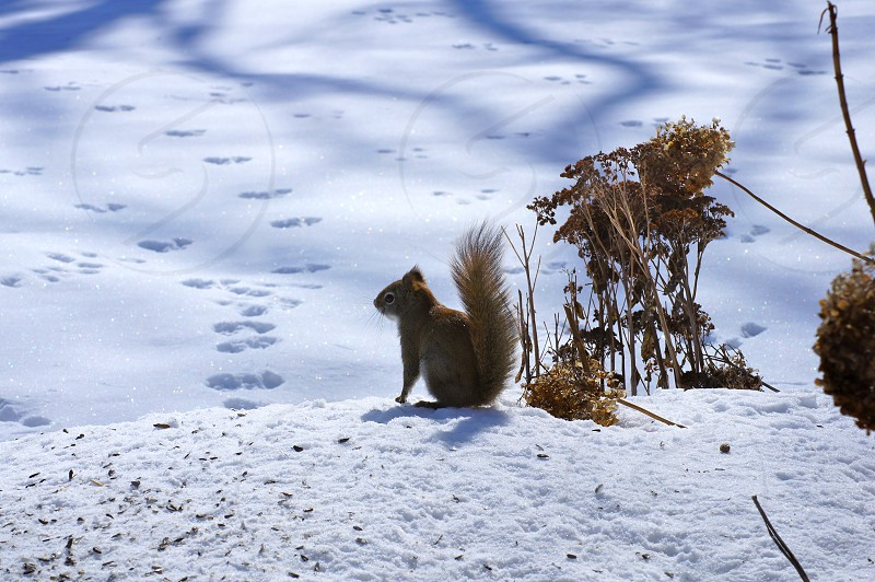 Baby Squirrel on a Snow Bank photo