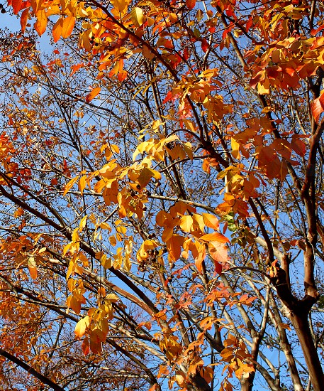 Orange leaves on the branches of a tree in the Fall photo