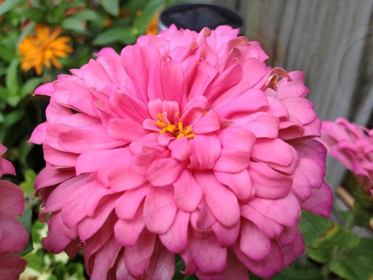 Pink blossom bloom flower plant  photo