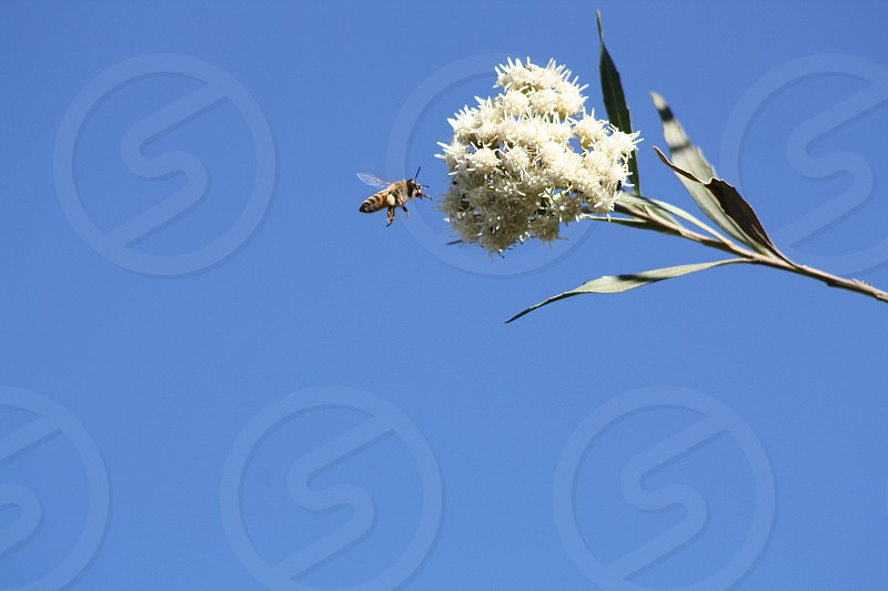 A honeybee hovers near the white blossoms of a flower  photo