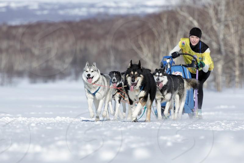 PETROPAVLOVSK KAMCHATKA PENINSULA RUSSIA - FEB 25 2017: Running sled dog team Kamchatka musher Chiruhina Julia. Kamchatka Sled Dog Racing Beringia Russian Cup of Sled Dog Racing (snow disciplines) photo