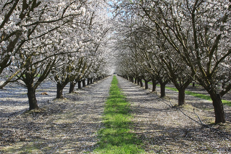 Blossoms blooming trees orchard almond  photo
