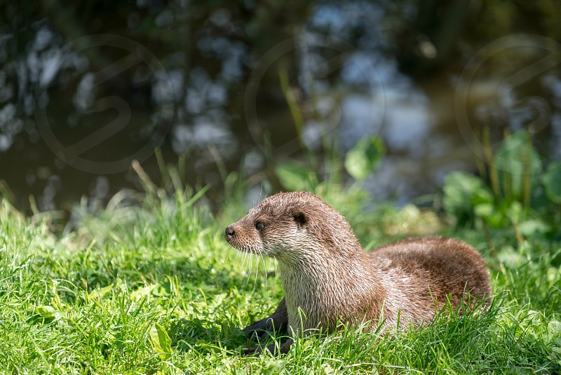 Eurasian Otter (Lutra lutra) Sitting in the Sunshine photo