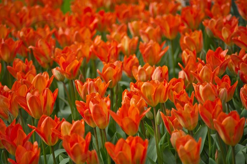 orange tulip field photo