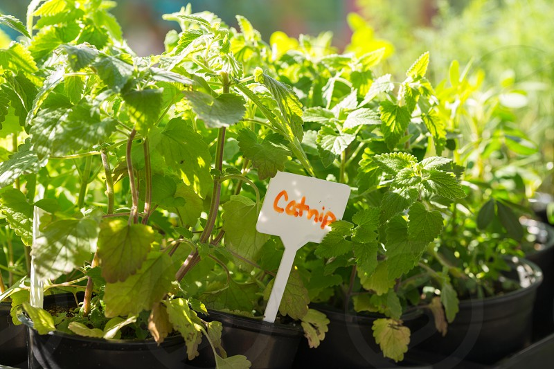 Catnip plants for sale at a local farmer's market photo