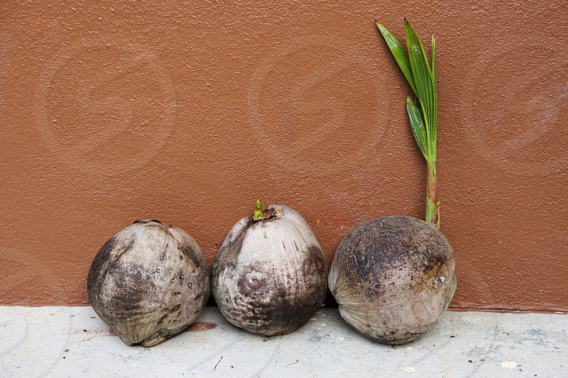coconut fruits photo