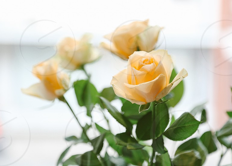 Soft roses apricot color yellow roses rose roses  bouquet  flower bouquet  flower flowers beauty focus  photo