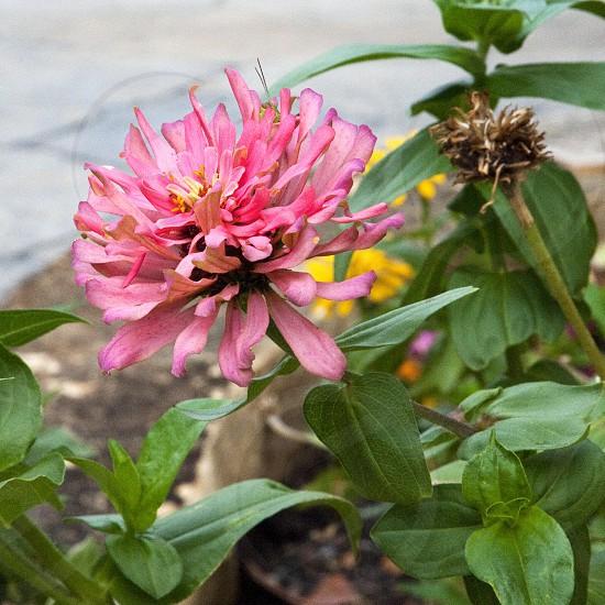 Pink zinnia flower photo