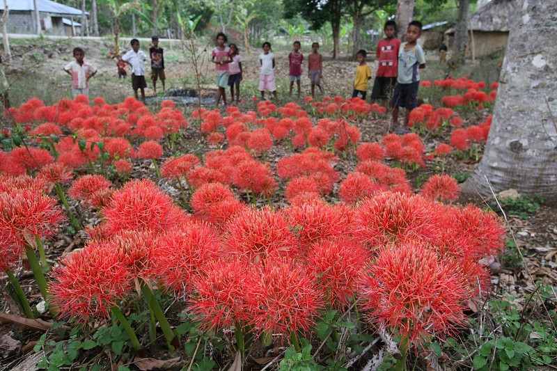tropical flowers in the town of Viqueque in the south of East Timor in southeastasia.