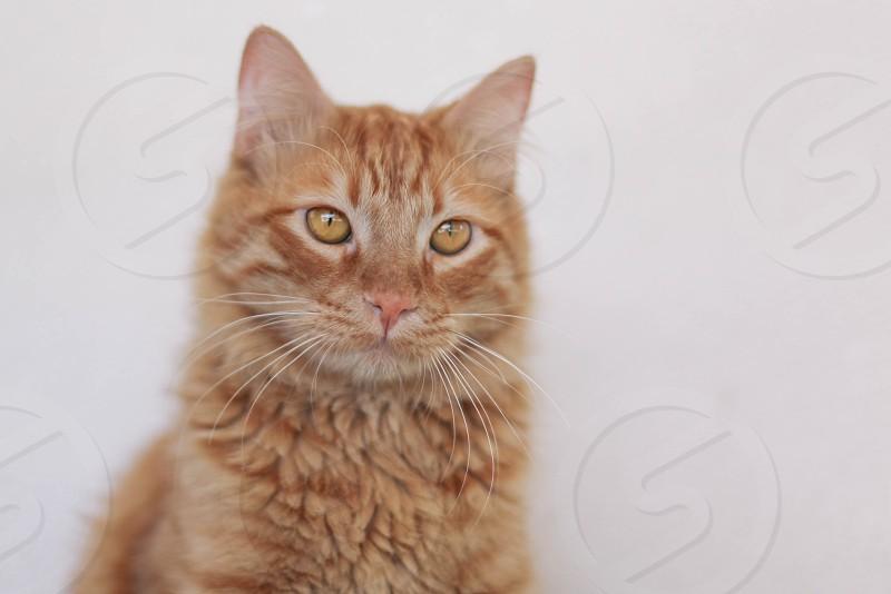 orange cat photo