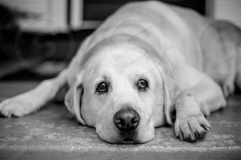 Dogs Labrador Golden retrievers yellow lab dog portrait black and white photo
