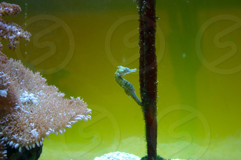 Tiny green seahorse clinging to a branch next to some coral. photo