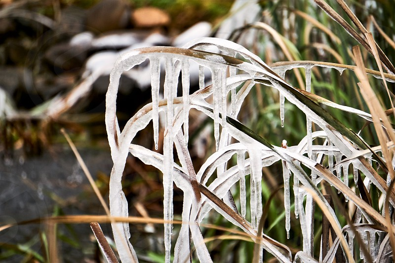 Frozen icicles on greenery around pond                                 photo