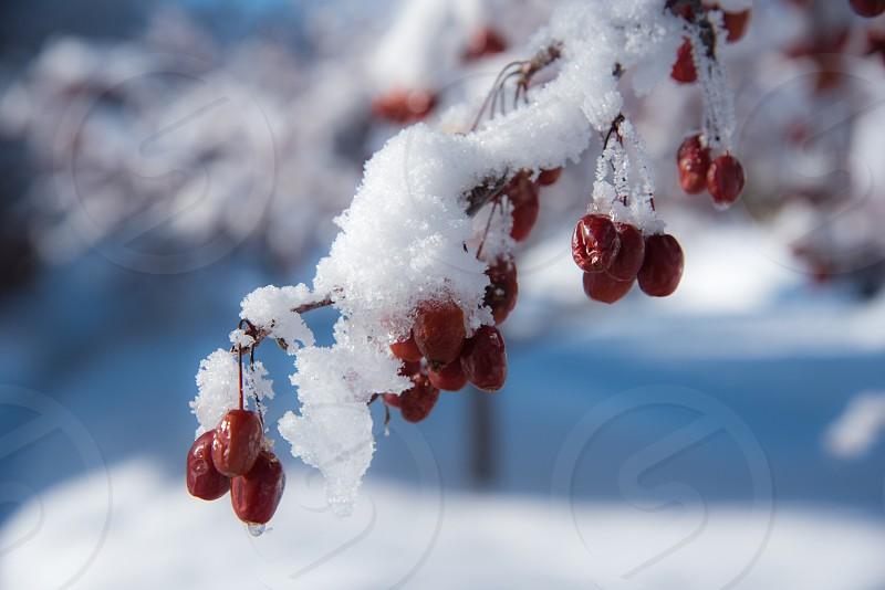 Winter snow ice melting berries Bend Oregon Oregon photo