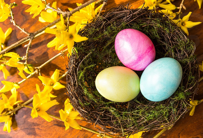 Easter spring nest eggs flower forsythia from above close-up color colorful garden pink tree wood yellow nature outdoors beautiful bird blooms blue branches bright decorated gardening green moss natural pastel photo