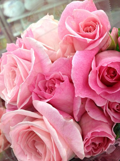 pink and white rose flower photography photo