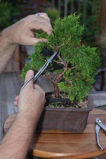 Starting to sculpt a Bonsai tree photo