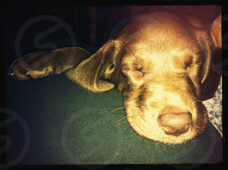 sleeping pup photo