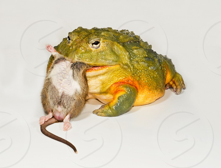 A huge African bull frog (Pixycephalus adspersus) gulps down an adult mouse in just a few bites. photo