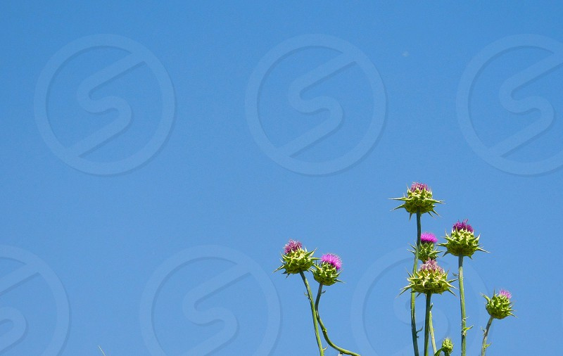 A bunch of small thistles grow in the corner of the fame against a bright blue sky photo